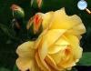 De cor amarela com rebordo fino alaranjado que se vai dissipando conforme a flor vai abrindo.