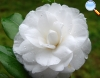 Camélia branca