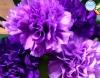 Cravo púrpura