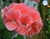 Gerânio rosa