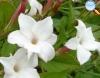 Jasmin branco