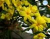 Jasmin amarelo