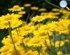 Anthemis tinctoria (camomila amarela)