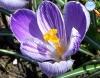 Crocus sativus (Açafrão)