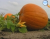 Curcubita pepo Duchesne (Abóbora)