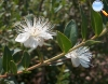 Myrtus communis (Murta)