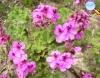 Pelargonium capitatum (Gerânio)