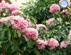 Tabebuia heptaphyla (Ipê-rosa ou piúva)