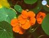 Tropaealum majus (Chaguinha ou capuchinho)