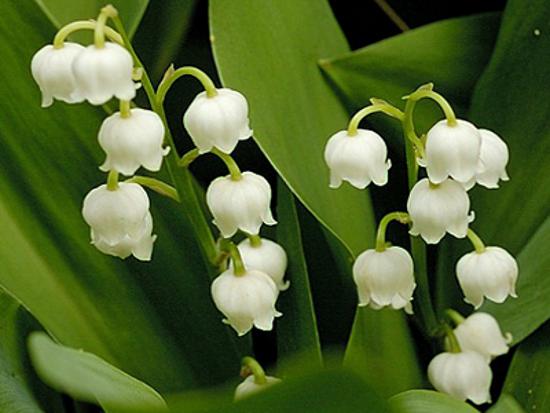 flores do jardim letra : flores do jardim letra:Nomes de flores – letra L