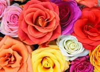 rosas coloridas